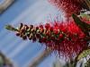 Bottlebrush blooms just opening - Genus Callistemon