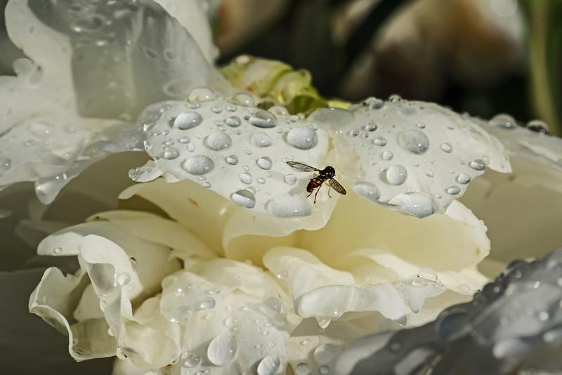 All Right - Fly Amid the Rain Drops - Peony Garden
