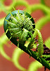"""2060510 273/365 June 5/10<br /> <br /> I had a hard time choosing this daily.  Ferns can be so fun to photograph.  The one that I did not pick can be seen here <a href=""""http://wildelifephotography.com/Photography/Flora/10027831_zKtCN#890420652_7nbJR"""">http://wildelifephotography.com/Photography/Flora/10027831_zKtCN#890420652_7nbJR</a><br /> <br /> Thanks for all the comments on the dew drops yesterday and I would like to be able to tell you all how it did it, but the honest truth is that I got lucky.  A heavy dew left the 2 drops in a perfect position and when I got down to it's level this is what I saw  <a href=""""http://wildelifephotography.com/Photography/Macros-and-Close-Up/9903858_mkX9j#890237368_YWJin"""">http://wildelifephotography.com/Photography/Macros-and-Close-Up/9903858_mkX9j#890237368_YWJin</a> I've been trying for so long to capture something like that I just grabbed a dandelion, as they seem to be in abundant supply right now and placed it behind and it worked."""