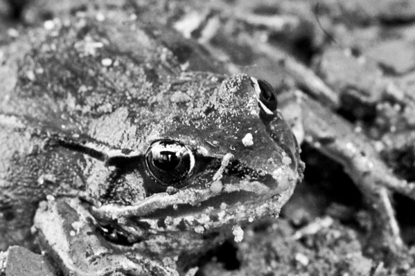 2080210 331/365 Aug 2/10<br /> <br /> Found this little black frog hiding in the mud.<br /> <br /> Thanks for all the comments the past week and sorry I haven't been commenting much. My computer was filling up way too fast so I went an bought an external hard drive to move all my photos to.  I've also been trying to back up the past years photos on disks for extra insurance.  However, during all this I have never seen so many error messages in my life.  A computer expert I am not.  Everything seems to be working fine now, so life should get back to normal.