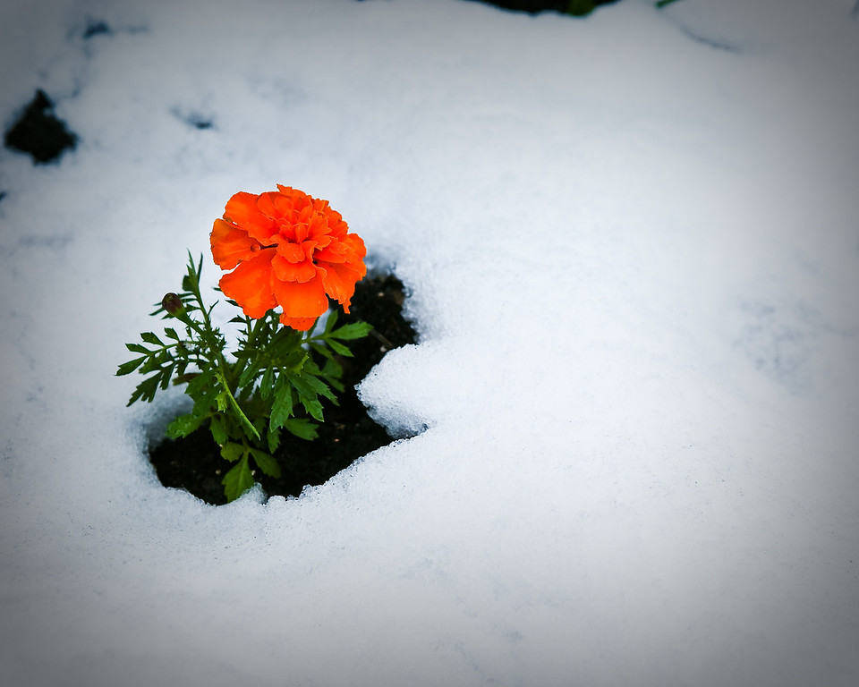 2053110 268/365 May 31/10<br /> <br /> Marigold in the snow.<br /> <br /> We did need some moisture here, but not in the form of snow.  Maybe spring/summer will come soon.