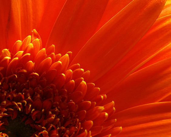 2012310 140/365 Jan 23/10<br /> <br /> Day 2 of bouquet.  A macro of the big orange flower.