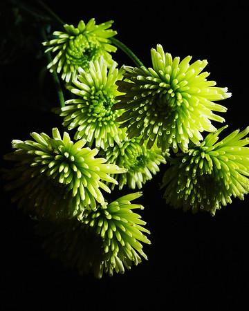 2012610 143/365 Jan 26/10<br /> <br /> Green mums.