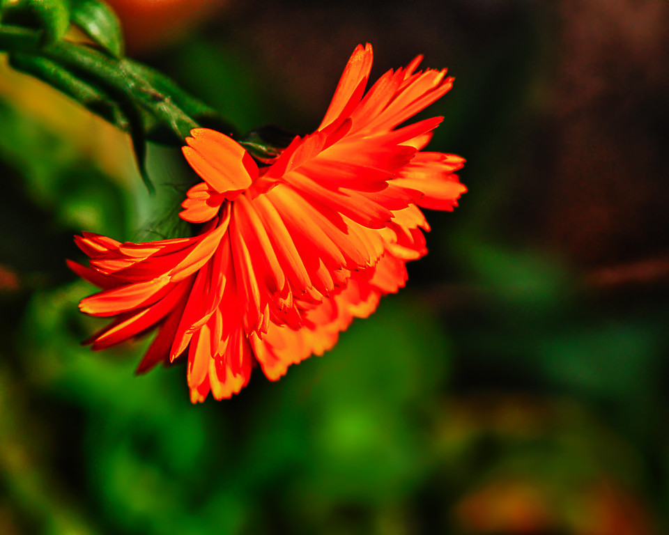 021 Oct 18/10<br /> <br /> The orange flower left in the flower bed.  Same type of flower as yesterday's but different color.