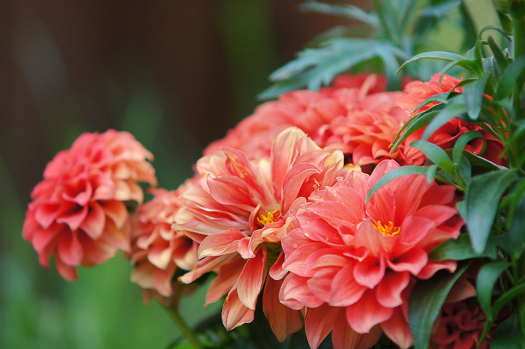136 May 24/11 Garden Flowers