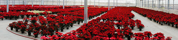 273 Nov 30/11 Pano of Pointsettia<br /> <br /> The Images Alberta Camera Club had an outing on Saturday at the Enjoy Centre in St Albert.  The major partner of the centre is Hole's Greenhouses with a modern state of the art greenhouse.  This is an in camera pano of the grow room where the plants are placed on the floor and at certain times sections of the floor are flooded for watering the plants.  Quite an amazing sight to see 30 some thousand pointsettias ready for Christmas.