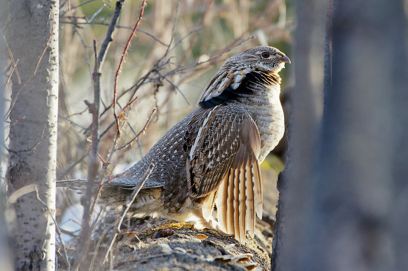 """113 Apr 27/11 A Ruffed Grouse drumming.  <br /> <br /> For more information on the Ruffed Grouse, this is an interesting read <a href=""""http://www.ruffedgrousesociety.org/grouse-facts"""">http://www.ruffedgrousesociety.org/grouse-facts</a>"""
