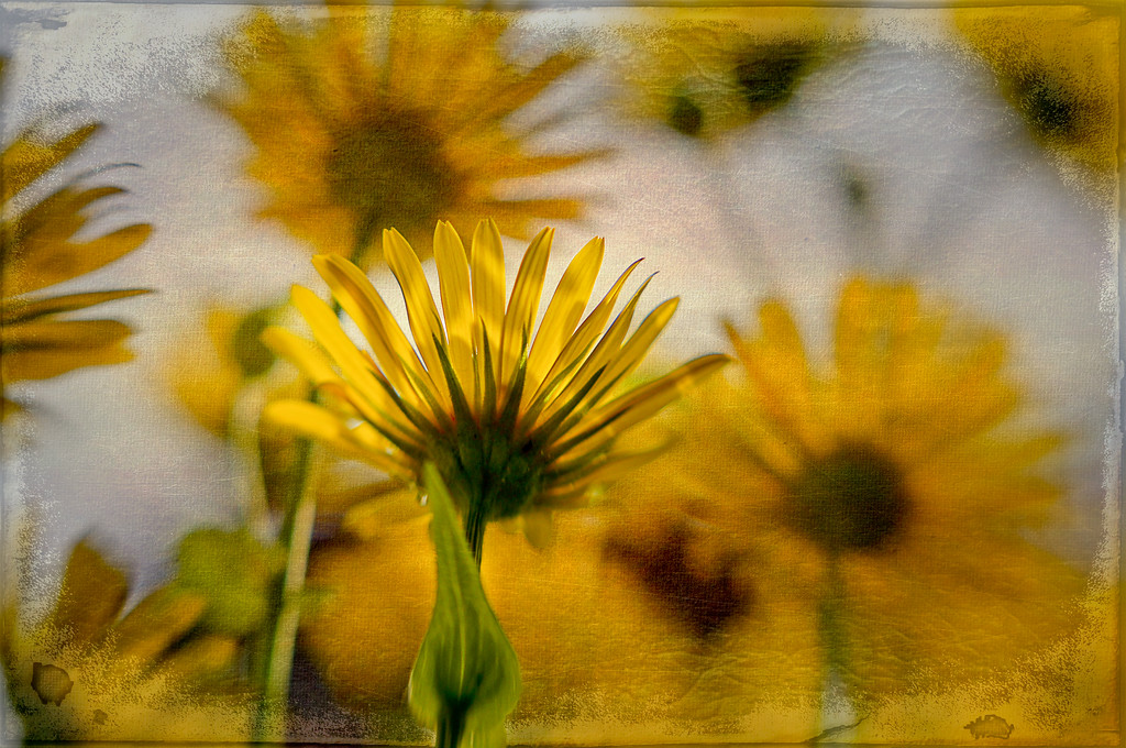 """150 Jun 7/11  Inside looking out.<br /> <br /> Yellow daisies in the yard shot from below with a lensbaby macro adapter with a layer of texture added.  The original can be seen here <a href=""""http://www.wildelifephotography.com/Photography/Flora/10027831_zKtCN#1326018645_bHW5TkG"""">http://www.wildelifephotography.com/Photography/Flora/10027831_zKtCN#1326018645_bHW5TkG</a>"""
