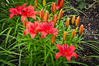 173 Jul 14/11 Lilies in the Rain