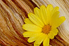 198 Aug 15/11<br /> <br /> After reading Mike Moat's blog about adding interest to an interesting wood texture I thought I would give it a try with a piece of split wood and a yellow daisy.  This was shot at f18.