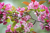147 Jun 4/11 Purple Flowering Plum Tree<br /> <br /> Another tree in the yard.