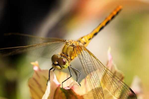 190 Aug 7/11  Everyone has been posting such great dragonfly shots lately I thought I would join in.  I usually chase them around the yard and never get a shot, but this time I followed papamugger's and sharkbayte's advice and just sat and let them keep coming back to me.