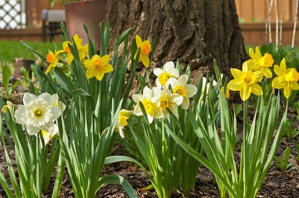 134 May 22/11 My garden full of daffodils.