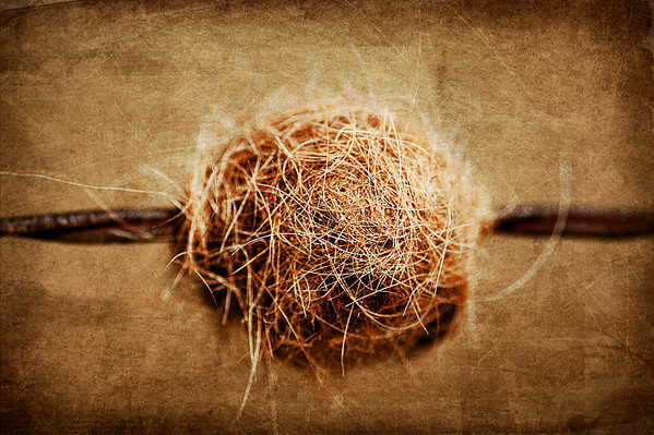 121 May 7/11 Cowball on a fence.  This photo was taken a couple of years ago and reworked with layers of textures from Kim Klassesn.