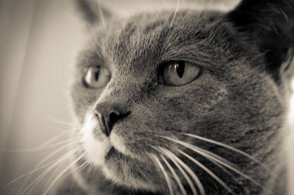 """026 Feb 2/11<br /> <br /> My cat deep in thought, """"Can we please finish this photo session and fill my food dish""""."""