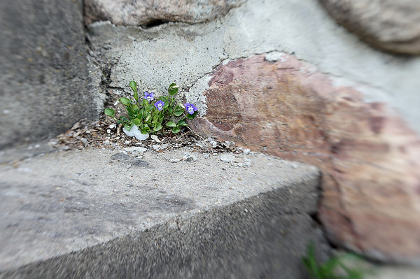 129 May 17/11 The Little Violet That Could
