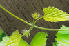 124 Aug 31/12 Hops in bloom.<br /> <br /> Critique welcome