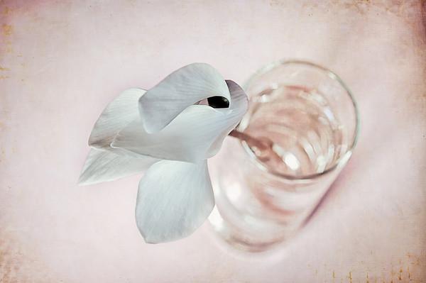010 Jan 10/12 Cyclamen Flower