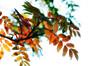 146 Sep 27/12 Autumn Mountain Ash.<br /> <br /> Critique always welcome.