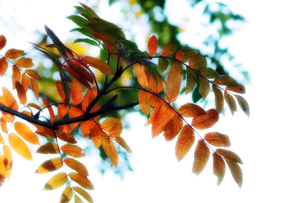 146 Sep 27/12 Autumn Mountain Ash.  Critique always welcome.