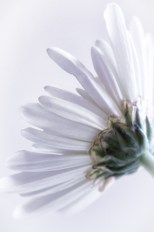 030 Jan 30/12  White Mum.  More close up of this flower at http://susanwildephotography.blogspot.com/