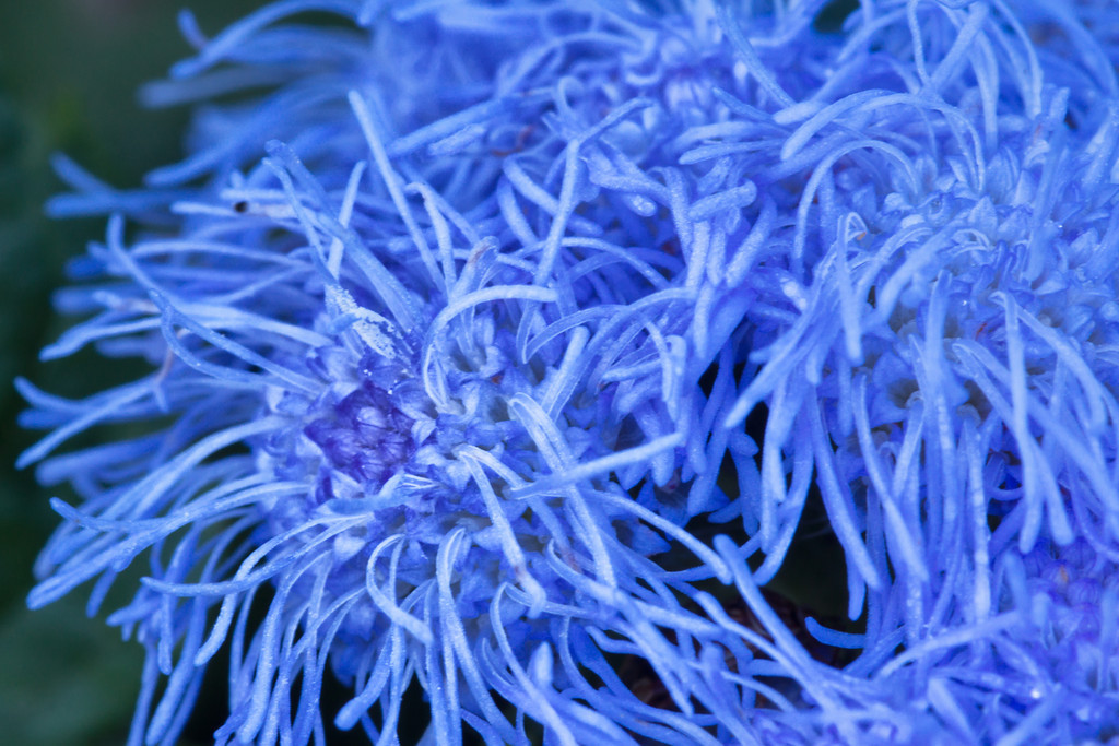 142 Sep 23/12 Macro from the garden. Blue Mink Ageratum for the The Prostate Cancer Awareness Challenge.  Critique always welcome.