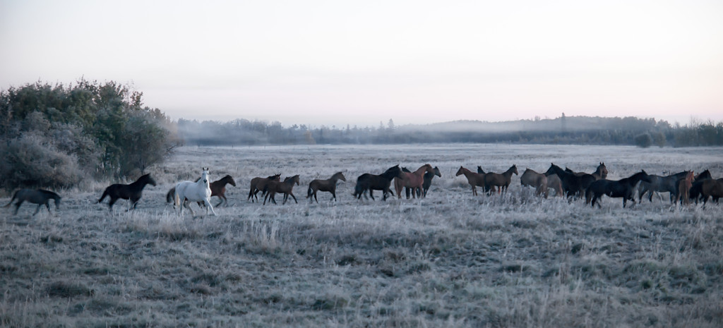 150 Oct 6/12 Horses in the morning fog.