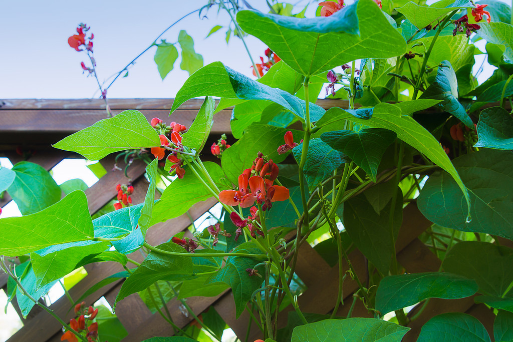 117 Aug 19/12 Scarlet Runner Beans in the yard.  I don't grow them for the beans to eat, but for the way they cover the trellis.  Critique welcome.