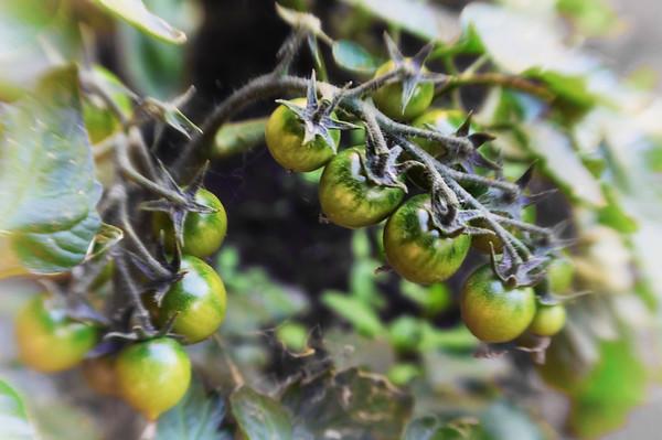 06/30/12 Yummy tomatoes soon