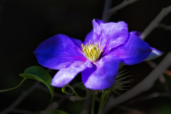 119 Aug 21/12  Thanks to Art Hill and his lovely photos of his Clematis in his yard, I'm trying them one last time.  Hopefully this one will make it through our winter.