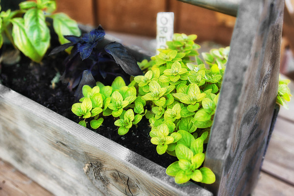 06/09/12 Oregano and basil planter