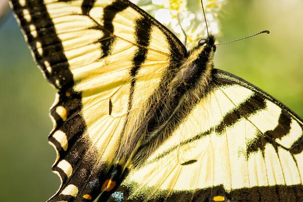 06/08/12 Swallowtail Butterfly.