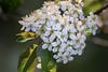 05/27/12 Pincherry Blossom
