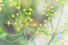 136 Sep 13/12 Dill Flowers<br /> <br /> Yesterday I took a walk around the yard looking for yellow.  These are dill flowers and quite possibly the hardest flower I've every photographed. Taken with a Sigma 105mm Macro lens.<br /> <br /> Critique always welcome.
