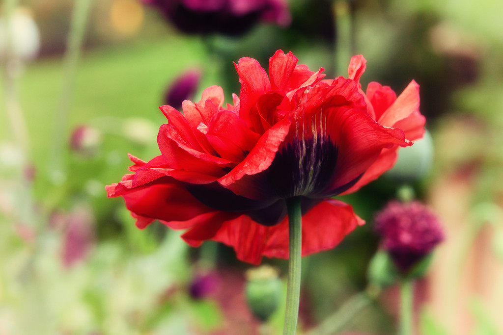 115 Aug 17/12 This spring flower seeds were carefully chosen to co-ordinate with the wedding colors.  This single red poppy and grown right in the middle of a patch of burgundy poppies.
