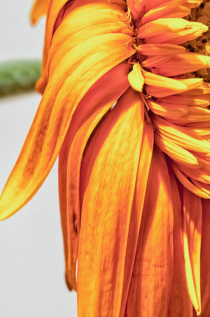 062 Mar 2/12 The last days of a daisy.