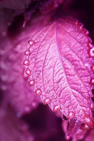 162 Oct 28/12 Thinking pink. Morning dew drops on Coleus leaf.   Now that life has slowed down to a reasonable pace I'm spending time processing the ignored photos from the past few months.