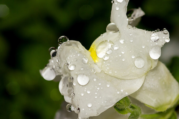 """05/23/12 Day two of a much needed rain has brought """"Raindrops on the Snapdragon""""."""