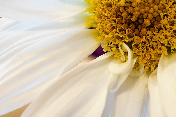 051 Feb 20/12 Macro of daisy from Feb 10th's bouquet.  Some of these flowers just keep going and going.