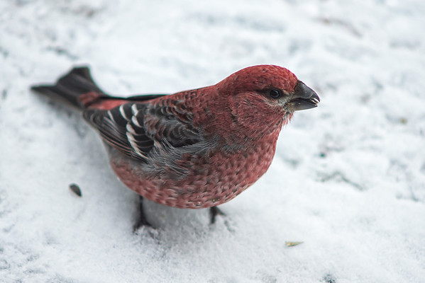 183 Dec 29/12 Pine Grosbeak