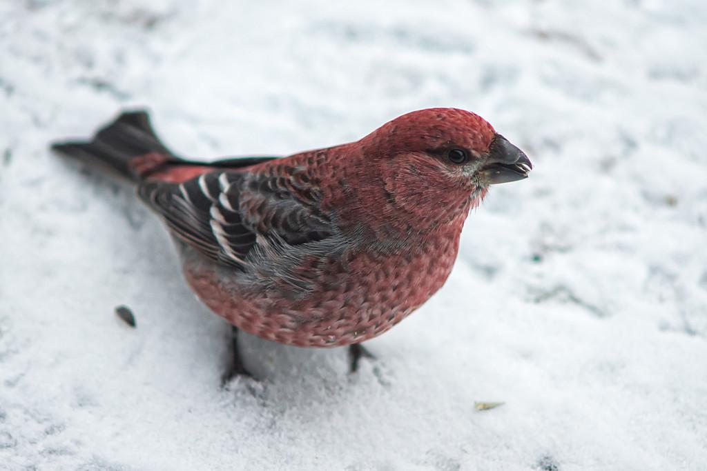 183 Dec 29/12 Pine Grosbeak