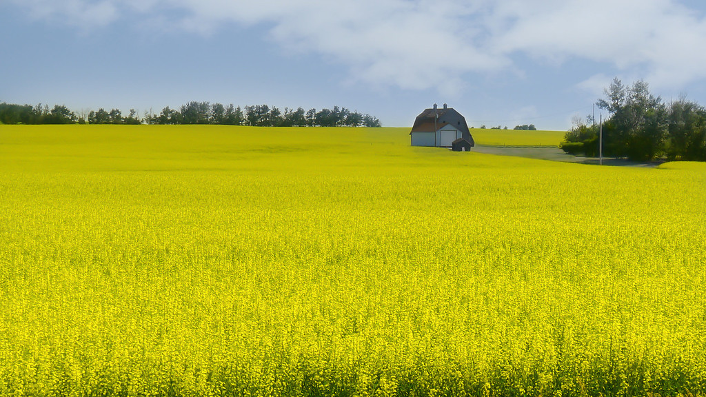 07/10/12 A driveby from the passenger seat on the way home from work.  This is a common scene here with the Canola fields starting to bloom.