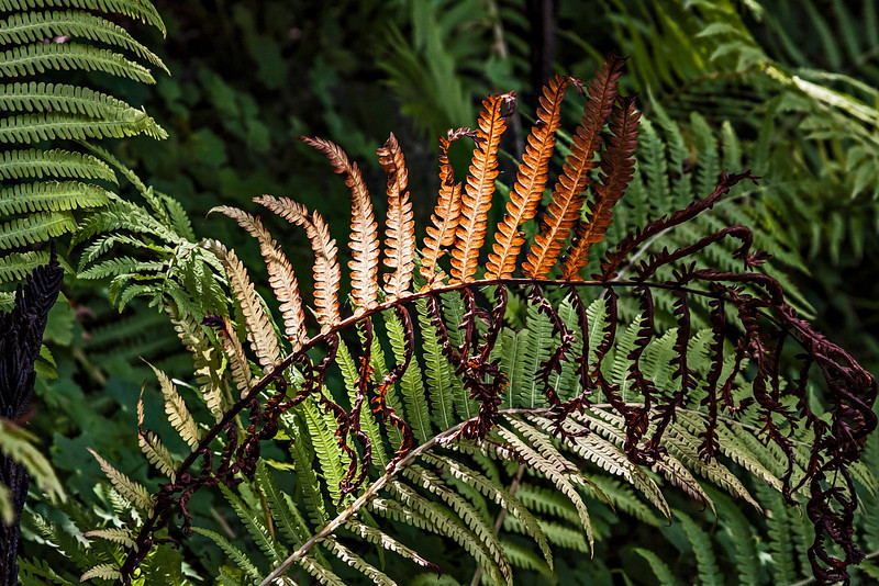 Frazzled fern frond...Fall is here<br /> <br /> DP245-2013  Posted September 2 (Labor Day); processed ditto<br /> <br /> The Benedict Hosta Hillside, Hidden Lake Gardens, Michigan<br /> August 30, 2013 (D242)<br /> <br /> I had fun viewing yesterday's H submissions.  So many cool takes on the letter.  Thank heavens smugmug resolved some, if not all, of the issues that plagued users on Saturday and rendered the site virtually unusable.  Hope everyone here in the USA enjoys a happy, safe Labor Day holiday today.