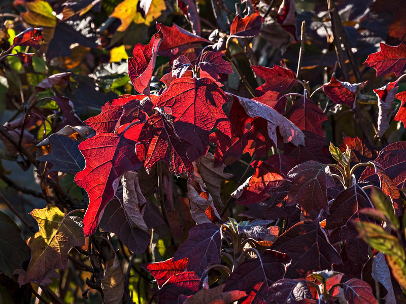 A last gasp of fall color<br /> <br /> DP324-2013  Posted November 20; processed November 19<br /> <br /> Hydrangea foliage, probably an oak leaf variety, soaking up the sun's rays.<br /> The Perennial Garden at Matthaei Botanical Gardens, Ann Arbor<br /> Taken November 14, 2013