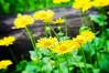 153 Jun 2/13 Yellow flowers before the rain.