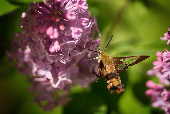 155 Jun 4/13 The elusive Clearwing Moth