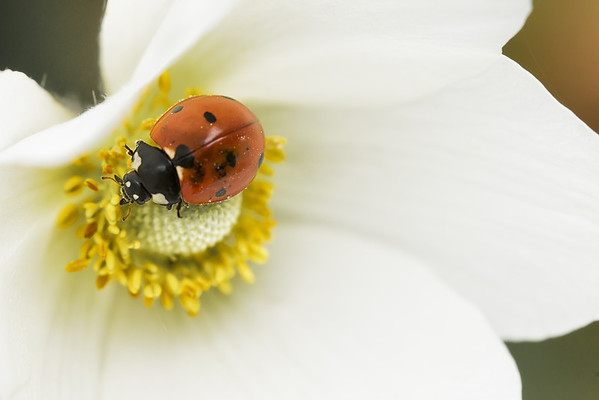 167 Jun 16/13  Ladybug on an Anemone flower in the yard.  <br /> <br /> Happy Father's Day to all you fathers.