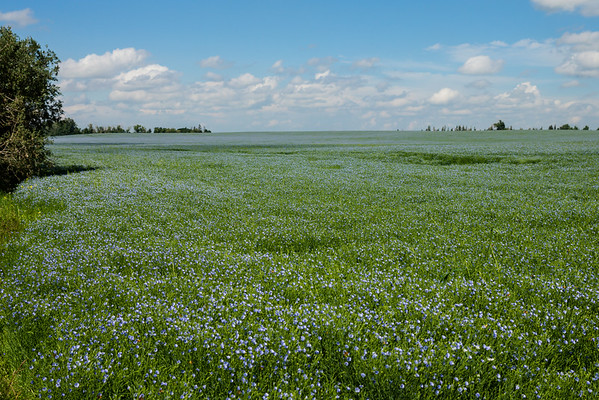 July 23 2014  We were looking for the perfect canola field and came across this flax field.  It's a little unusual to see flax around here.