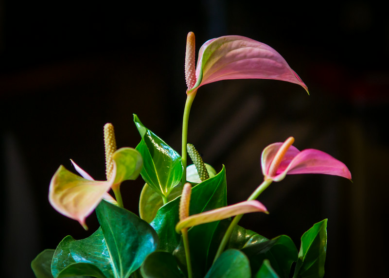 August 16, 2014  Bringing a little bit of Hawaii into the house.  A new house plant I found at Ikea.