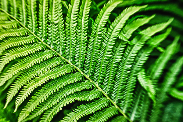 162 Jun 11/13 A close up of yesterday's ferns with a 4x macro filter on the lensbaby.